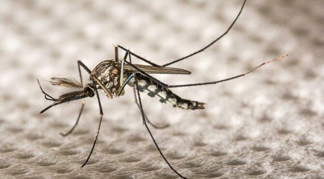 Hastalıkları bitirmek için tartışma yaratan proje: 750 milyon genetiği değiştirilmiş sivrisinek salacaklar